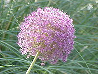 Allium giganteum1