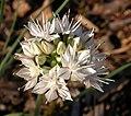 Allium haematochiton inflorescence 2002-11-18.jpg