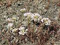 Allium lacunosum var. lacunosum.jpg