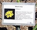 Allium moly II.jpg
