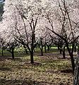 Almendros en flor III.jpg