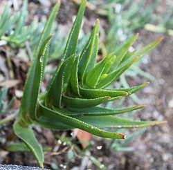 Aloe Juddii - Cape Fynbos - South Africa 5.jpg