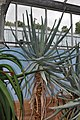 Aloe suzannae01.jpg