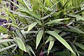 Alpinia nutans 4zz.jpg
