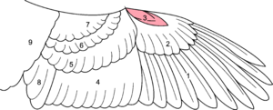 Alula - Location of the alula on a bird's wing