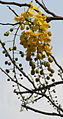 Amaltas Flower I IMG 1804.jpg