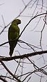 Amazona aestiva -Pantanal-8.jpg