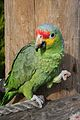 Amazona autumnalis -The Parrot Zoo, Friskney, Lincolnshire, England-8a.jpg