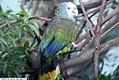 Amazona guildingii 2zz.jpg