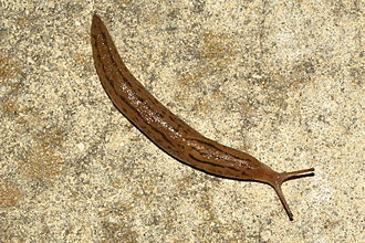 Slug - An active Ambigolimax slug in Fremont, California