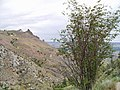 Amelanchier-alnifolia-var-cusickii 8795413544 o 2.jpg
