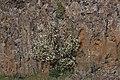 Amelanchier alnifolia 1790.JPG