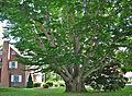 American Beech Tree, West Hartford, CT - July 6, 2013.jpg