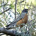 American Robin (31958464617).jpg