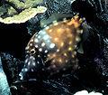 American whitespotted filefish.jpg