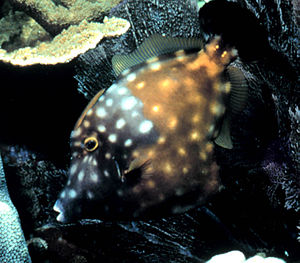 Tetraodontiformes - American whitespotted filefish, Cantherhines macrocerus
