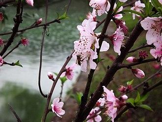 Peach - Peach flowers