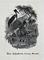 An adjutant bird sitting on a branch of a tree looking down Wellcome V0021339.jpg