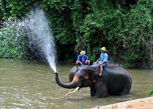 An elephant at the Thai Elepahnt Conservation Center.JPG