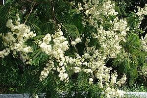 Anadenanthera colubrina - Anadenanthera colubrina flowers