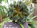 Ananas comosus at Queen Sirikit Botanic Garden - Chiang Mai 2013 2605.jpg