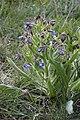 Anchusa-italica-StNazaPezan-JohnWalsh.jpg