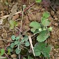 Androsace umbellata 1.jpg