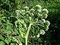 Angelica sylvestris subsp. sylvestris sl22.jpg