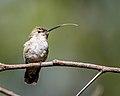 Anna's Hummingbird (f) (39583389585).jpg