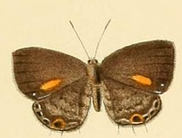 Anthene lychnides.JPG