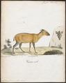 Antilope grimmia - 1818-1842 - Print - Iconographia Zoologica - Special Collections University of Amsterdam - UBA01 IZ21400265.tif