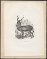 Antilope kudu - 1851-1876 - Print - Iconographia Zoologica - Special Collections University of Amsterdam - UBA01 IZ21400153.tif