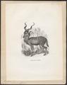 Antilope kudu - 1851-1876 - Print - Iconographia Zoologica - Special Collections University of Amsterdam - UBA01 IZ21400153.tif