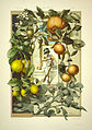 Anton Seder Roman Citrus.jpg