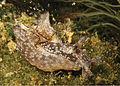 Aplysia parvula, Reunión.jpg