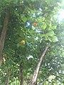Apricot tree)Ayvalık - panoramio.jpg