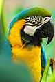 Ara ararauna -Birmingham Zoo -Alabama-6a.jpg