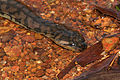 Arafura File Snake (Acrochordus arafurae) (8851310937).jpg