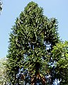 Araucaria australiana (Araucaria bidwillii) - Flickr - Alejandro Bayer.jpg