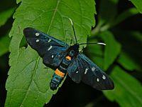 Arctiidae - Amata phegea (2).JPG