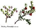 Arctostaphylos uva-ursi-4, by Mary Vaux Walcott.jpg