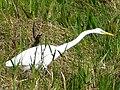 Ardea alba Everglades.JPG