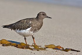Black Turnstone in winter plumage