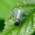 Argyra sp. Dolichopodidae - Flickr - gailhampshire (2).jpg