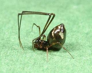 <i>Faiditus</i> Genus of spiders