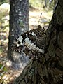 Around Azillanet butterfly (998630130).jpg