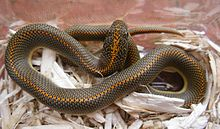 Aroura House Snake 1.JPG