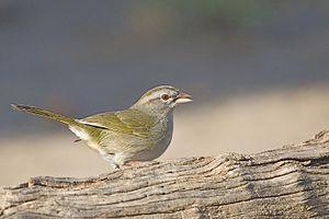 Olive sparrow - Image: Arremonops rufivirgatus