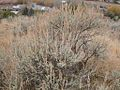 Artemisia tridentata vaseyana (3300488998).jpg