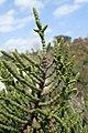 Arthrocnemum macrostachyum kz8.jpg
